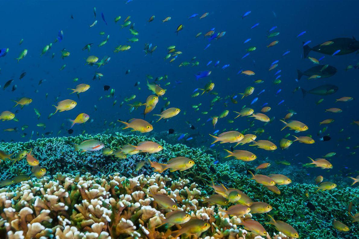 Anthias nadando sobre un prado de coral. Tubbataha consiguió protección en 1988 y cinco años después ...