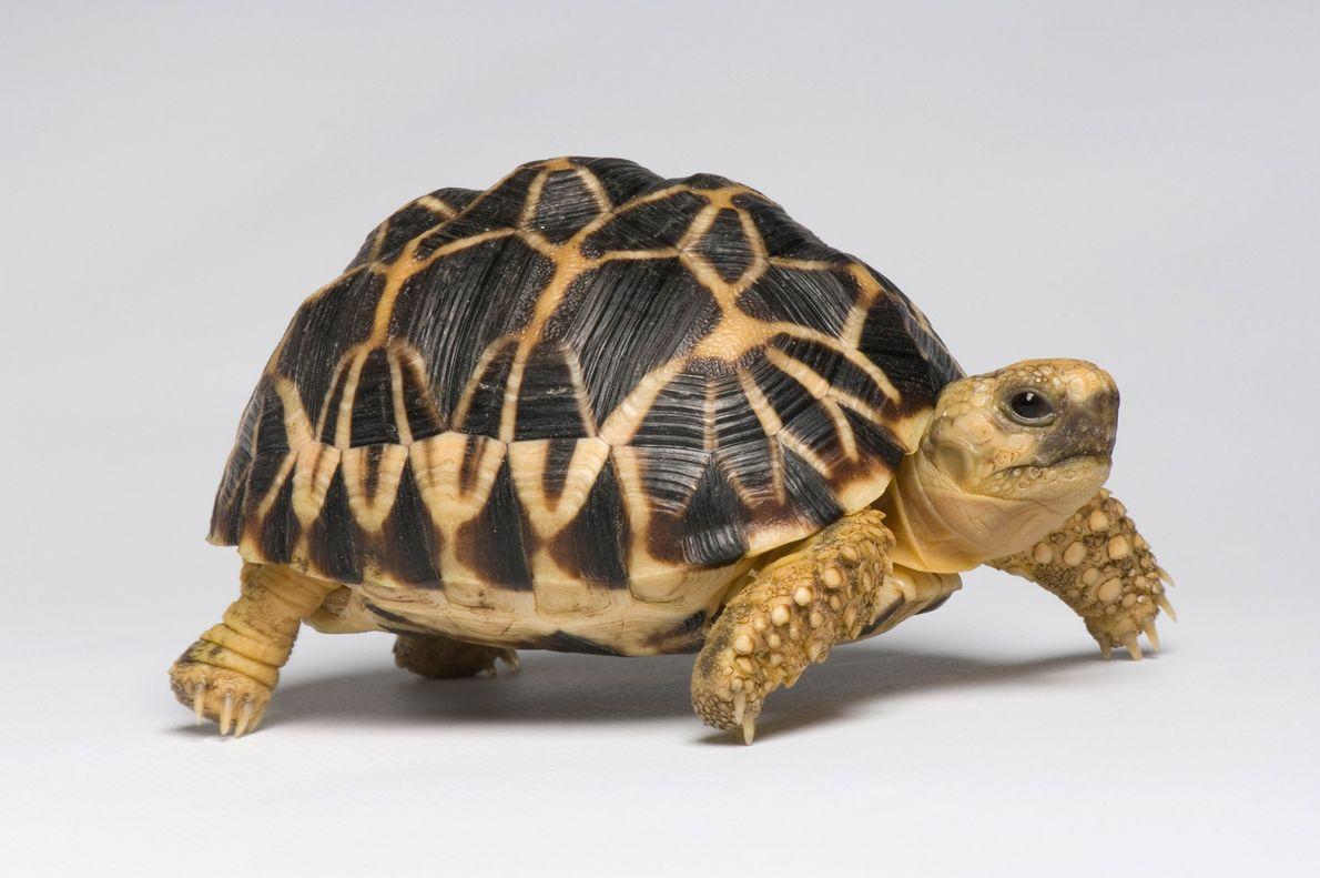 Esta tortuga estrellada de Birmania (Geochelone platynota), nativa de Myanmar, es una especie en peligro de ...