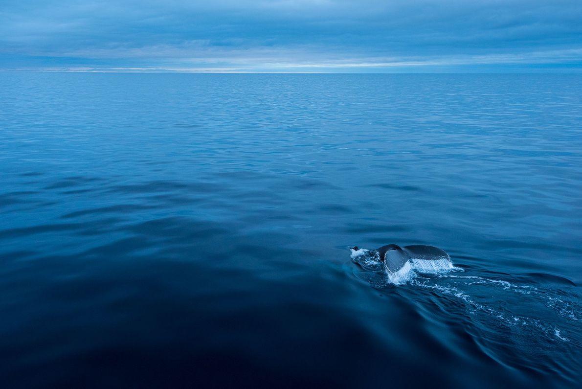 Las ballenas jorobadas (en la imagen, un animal cerca de la Antártida) emiten gemidos, aullidos, chillidos ...