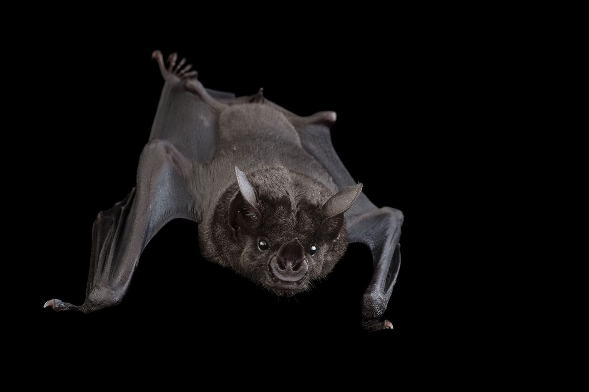 """Un murciélago """"Phyllostomus hastatus"""" en el Omaha Henry Doorly Zoo."""