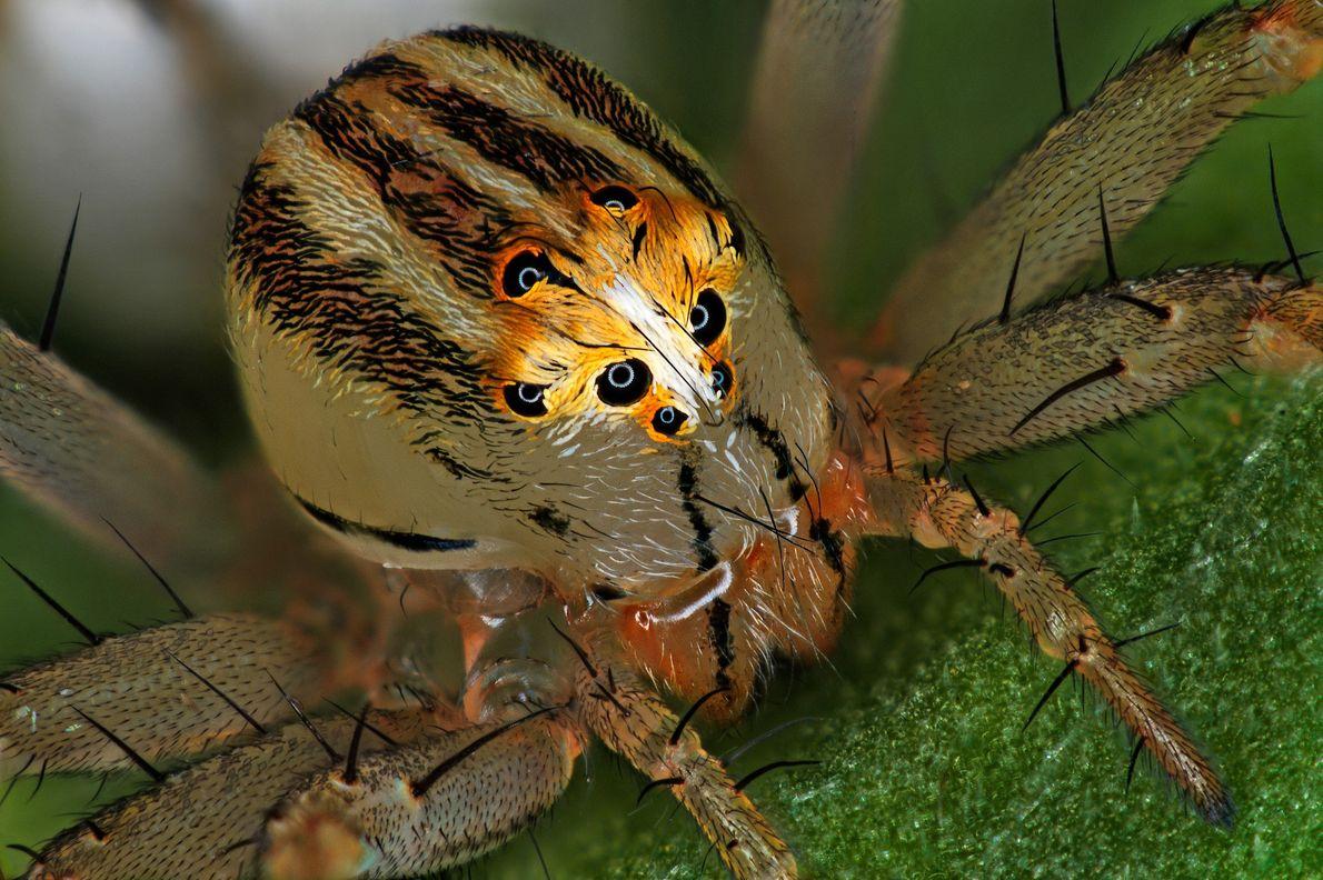 """El entomólogo francés Antoine Franck logró esta imagen de una araña lince hembra (""""Oxyopes dumonti""""). Las ..."""