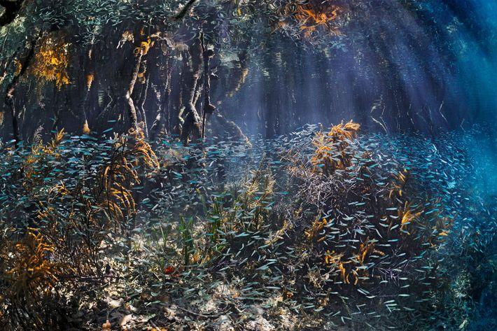 Bancos de peces jóvenes pululan entre los manglares de Belice, donde encuentran la protección que les ...