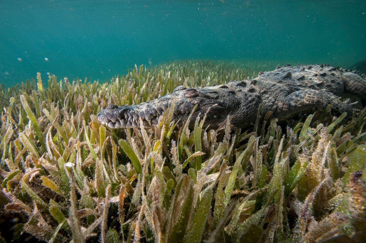 """Un cocodrilo americano (""""Crocodiles acutus"""") en los densos manglares del Parque Nacional Jardines de la Reina, ..."""