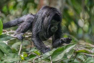 Mono aullador negro amazónico (Alouatta nigerrima) en Autazes, Amazonas.