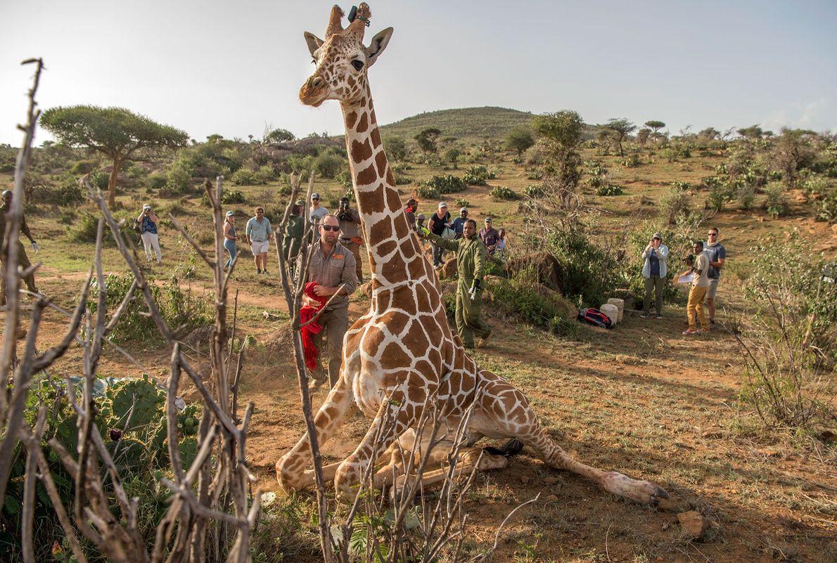 El número de ejemplares de jirafas es cambiante pero si se obtienen datos sobre las zonas ...