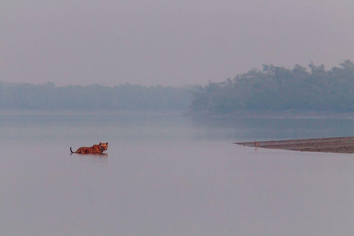 Un tigre de Bengala macho se detiene en un río para escuchar el rugido de otro ...