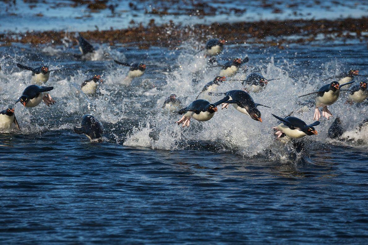 Los pingüinos saltarrocas nadan hacia la orilla en las islas Malvinas. Emplean las alas a modo ...