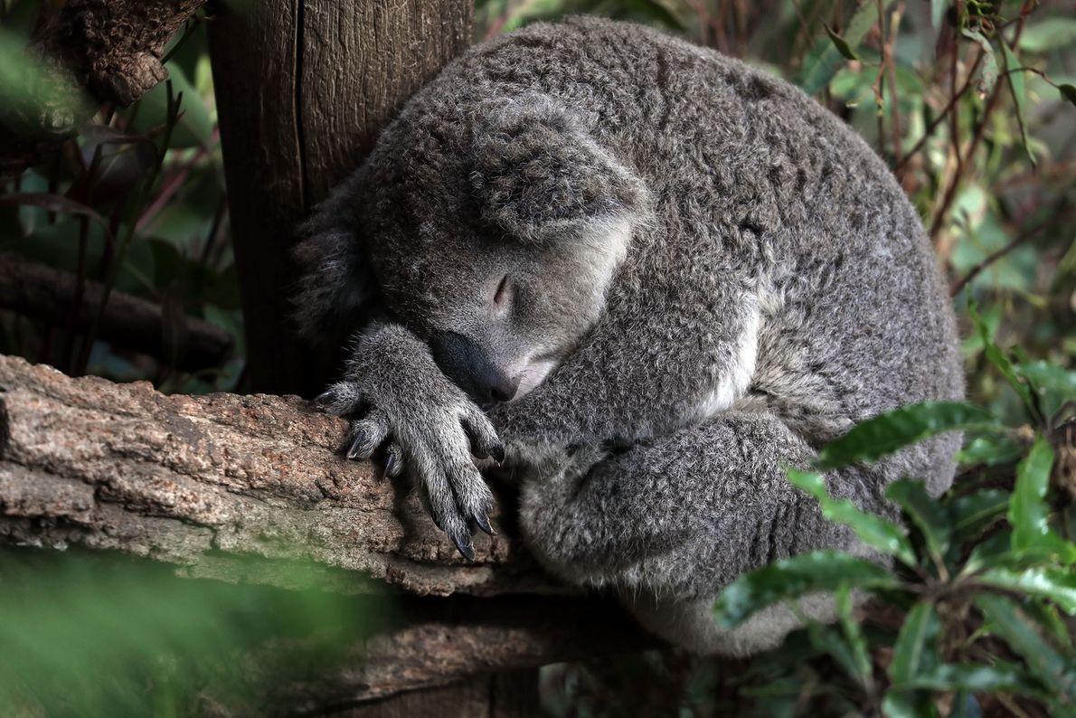 Un koala somnoliento. Clifton Gardens, Nueva Gales del Sur, Australia