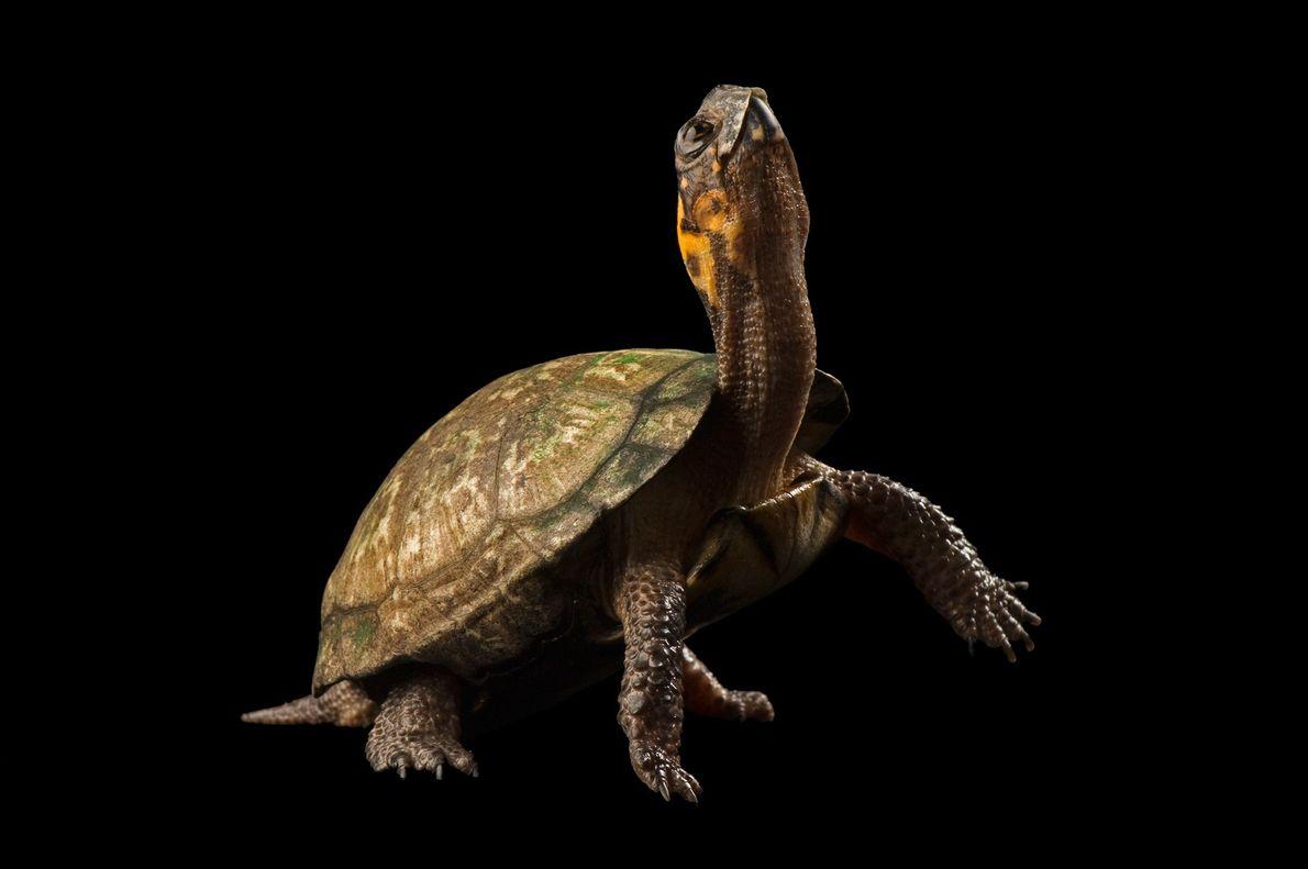 Esta flexible tortuga de pantano (Glyptemys muhlenbergii) es una especie en peligro crítico de extinción. Vive ...
