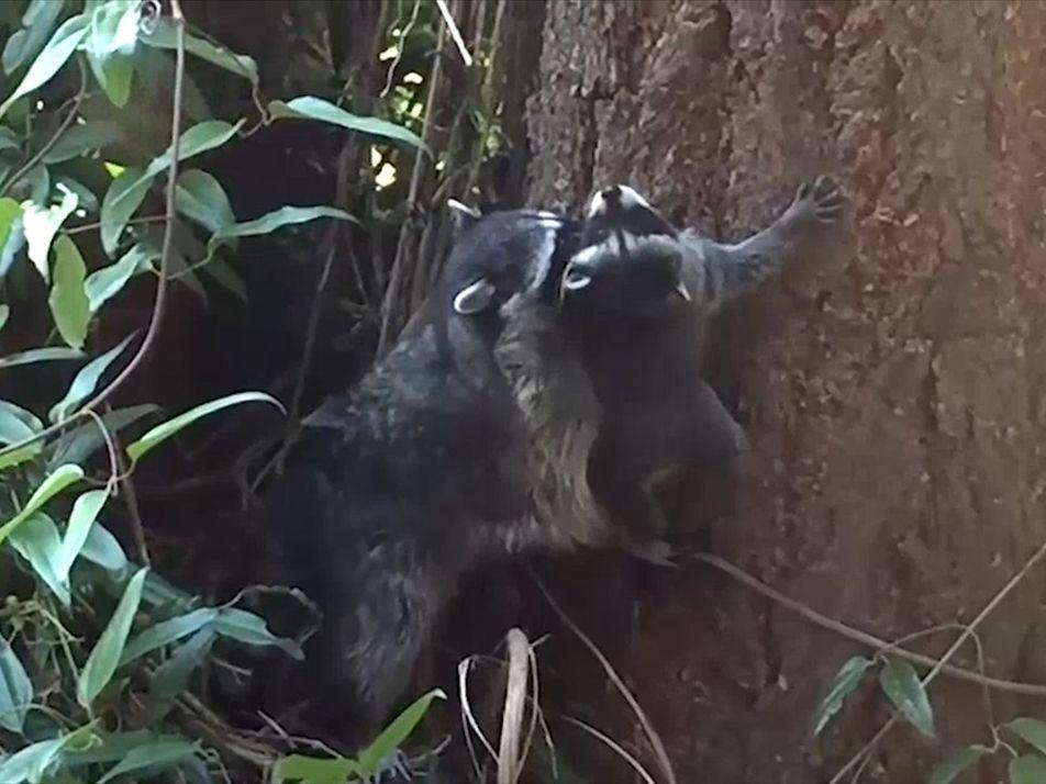 Un mapache bebé intenta trepar un árbol con la ayuda de su mamá