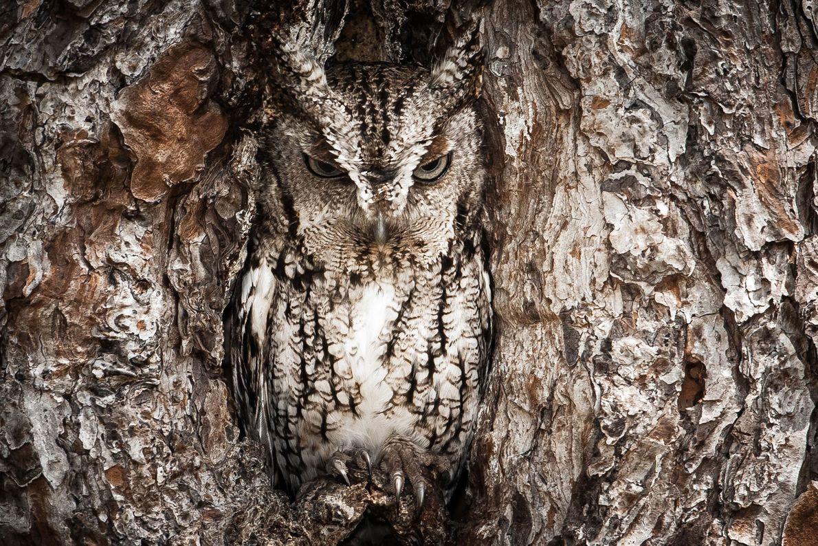 """""""A los autillos chillón les gusta apropiarse de los nidos de los pájaros carpinteros que han ..."""