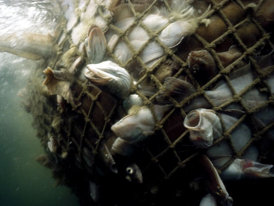 Bacalao y otro pez comercial son capturados en una red en el golfo de Maine. Nuestro ...