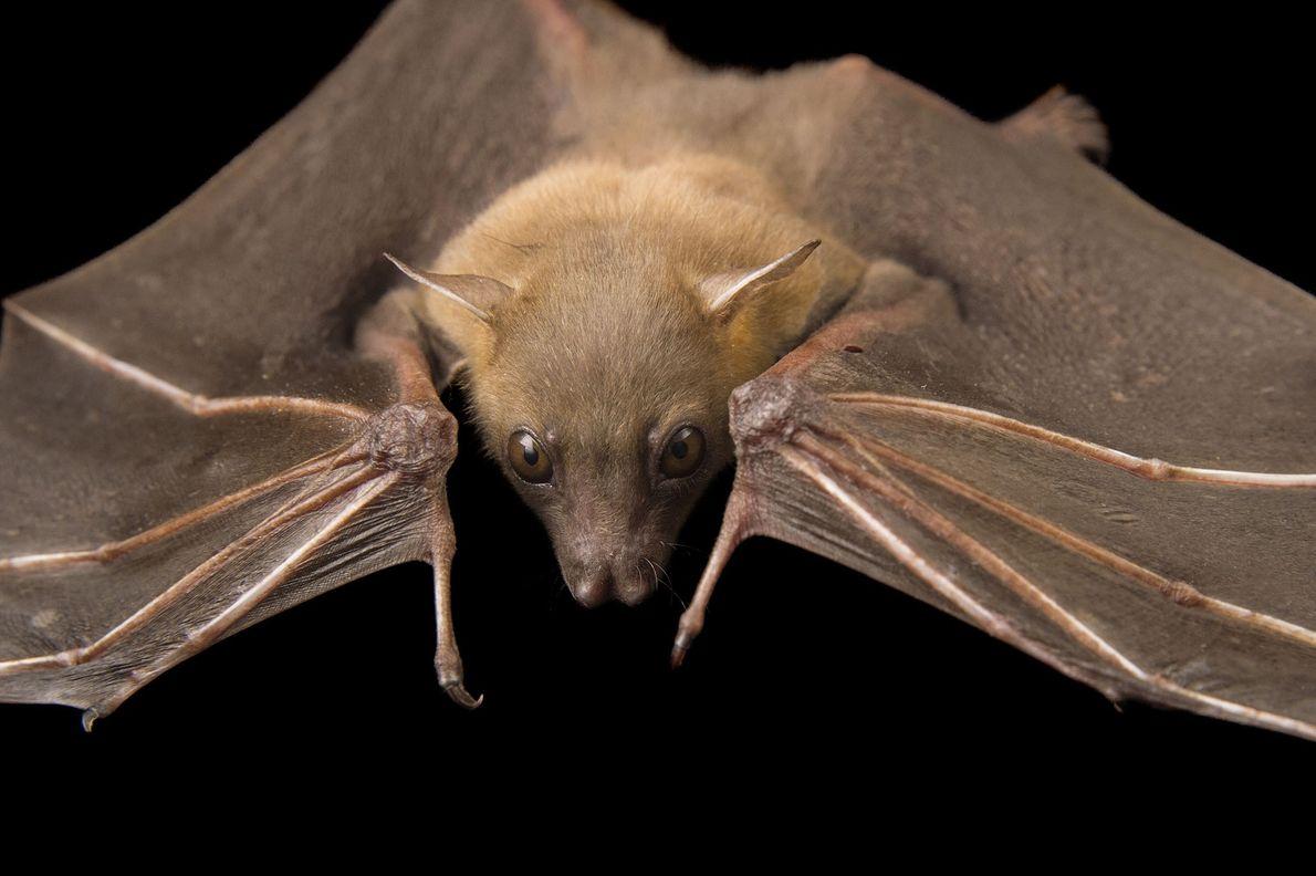 """Un murciélago """"Cynopterus brachyotis"""" en el Lubee Bat Conservancy en Gainesville, Florida."""