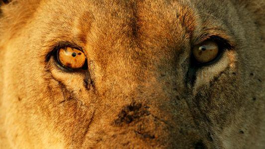 Leones: ferocidad y belleza en primer plano