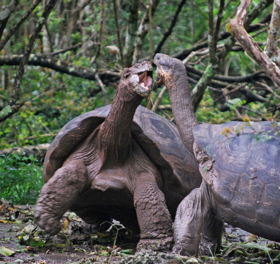 Tortugas de Galápagos se pelean entre sí en las Islas Galápagos.