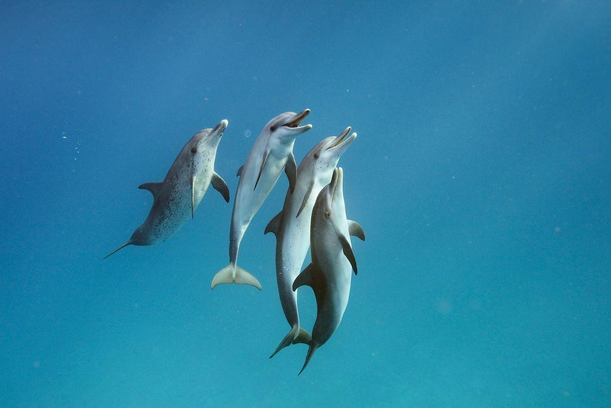 Delfines moteados el Atlántico nadan en las aguas de Bimini en las Bahamas.