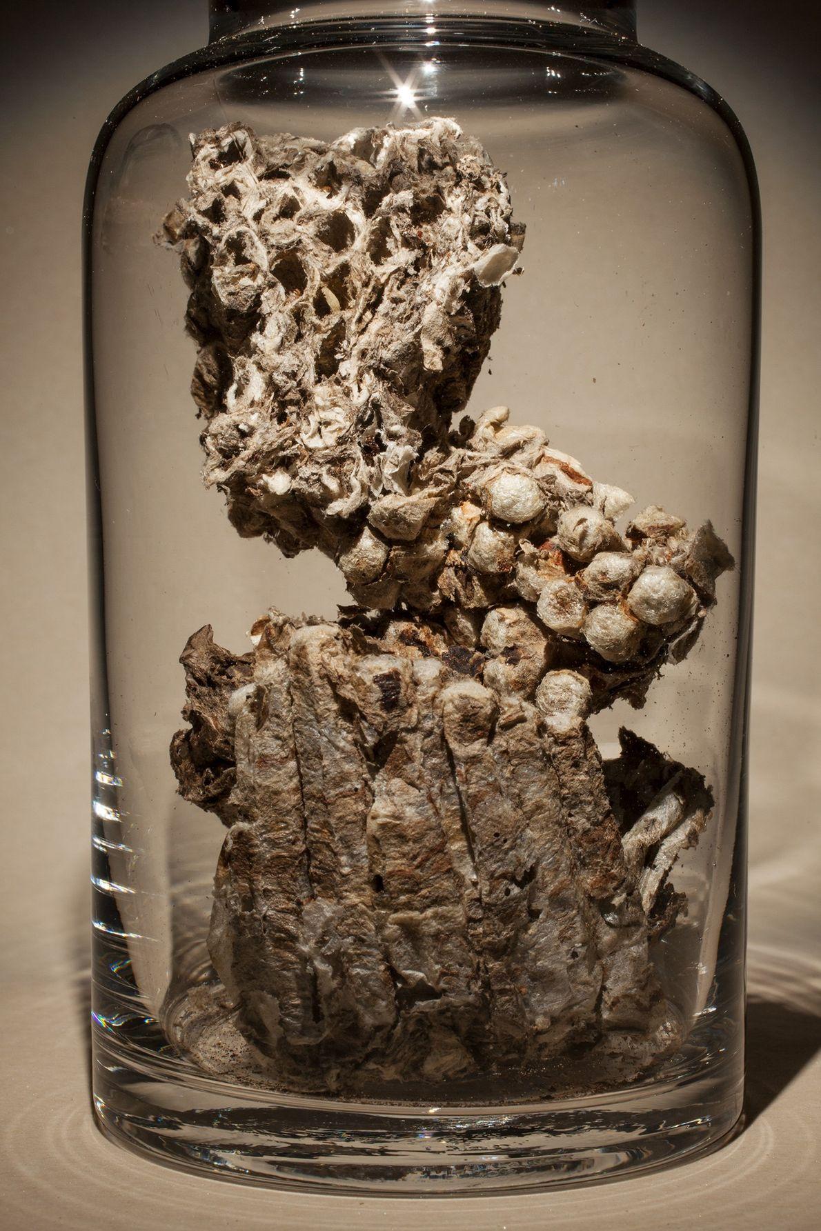 "Nombre común: nido de avispas de papel Latín: ""Polistes olivaceus"" (especie primaria) Chino: Lu feng fang Algunos usos: erupciones ..."