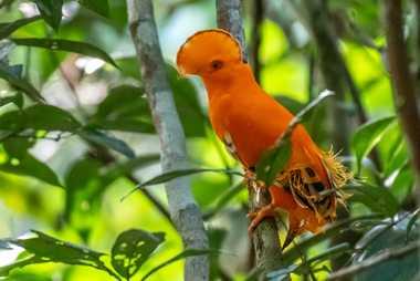 El gallito de las rocas (Rupicola rupicola) es otra de las aves emblemáticas de la Amazonía.