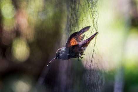 Un colibrí berilo, atrapado en una red usada para investigación de migración de aves, es una ...