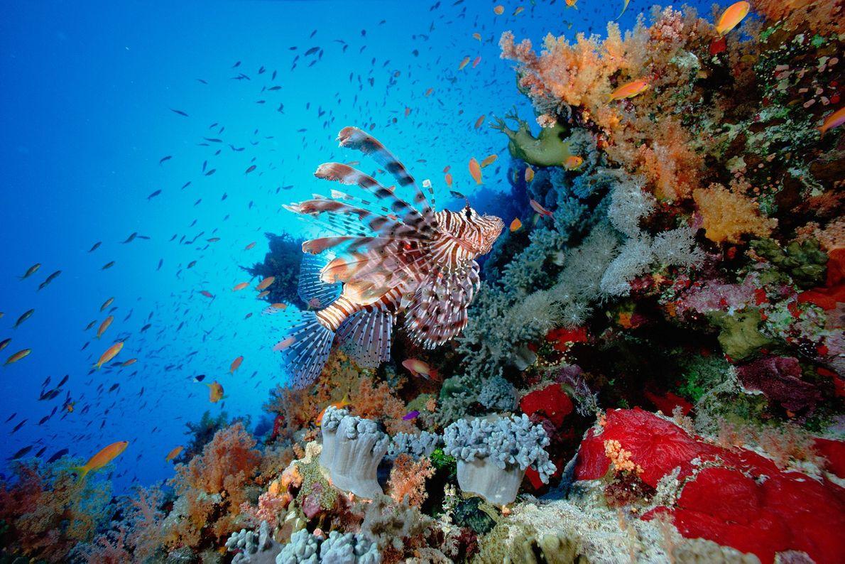 Los peces león nadan sobre un arrecife en el mar Rojo. Los peces león son venenosos ...