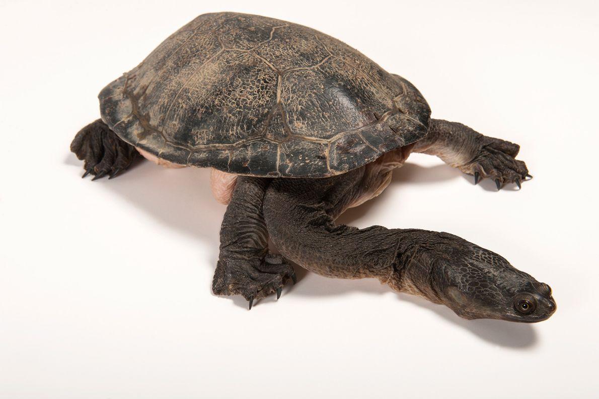 Las tortugas de gran caparazón y cuello largo (Chelodina expansa) recibieron su nombre por razones obvias.