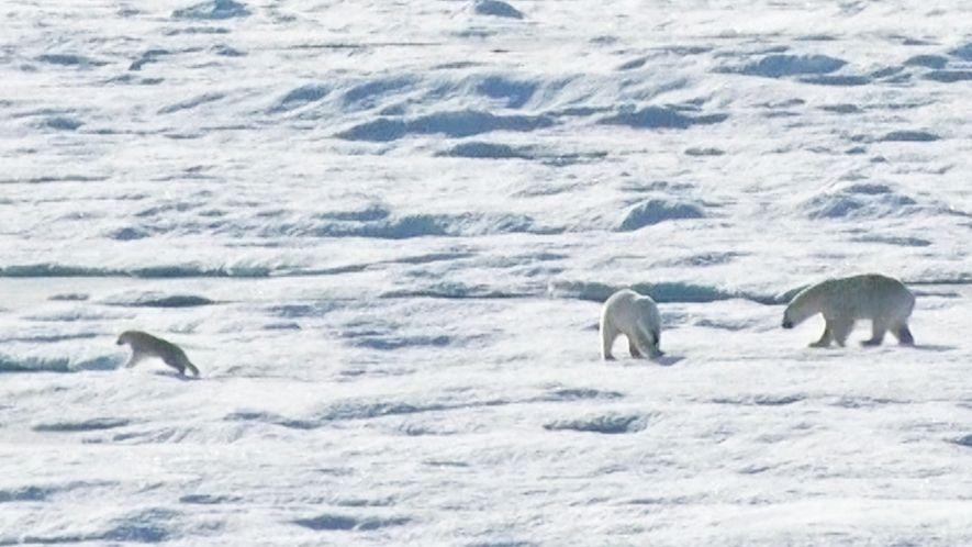 EXCLUSIVO: Un oso polar macho persigue y devora a un cachorro