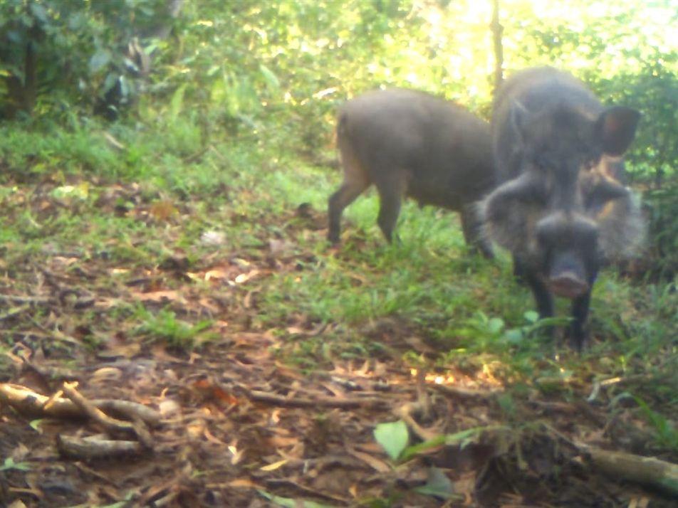 Conoce a uno de los cerdos más raros del mundo