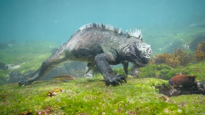 Nada junto a una iguana marina de Galápagos