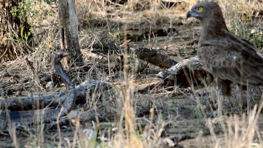 Águila hambrienta vs. cobra venenosa