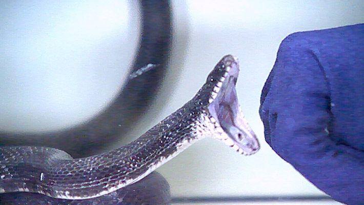 Mira el ataque de estas serpientes en cámara lenta