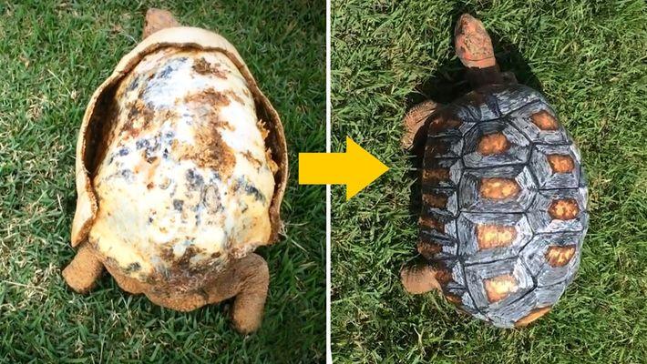 Fred, la tortuga, y su nuevo caparazón impreso en 3D