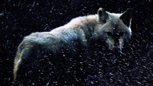 ¿Los lobos gigantes existieron realmente?