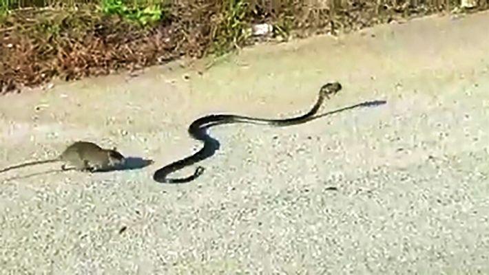 Una rata salva a su bebé de una serpiente