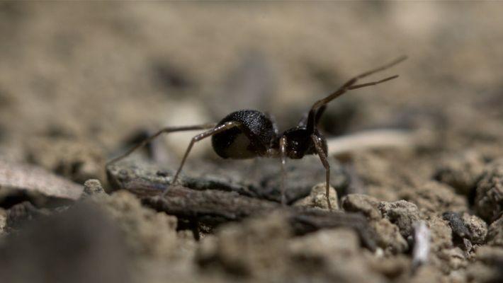 Esta araña usa sus patas delanteras como antenas para engañar a su presa