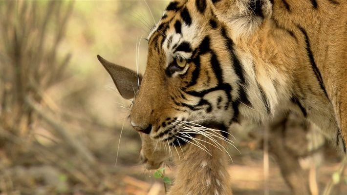 ¿Cómo cazan las tigresas de Bengala?