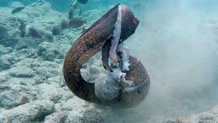 Anguila vs. pulpo, después anguila vs. camarógrafo