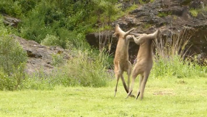 Canguro vs. canguro