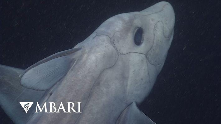 Raro tiburón fantasma captado en cámara