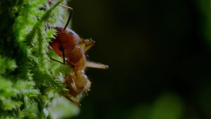 """Este parásito """"zombi"""" se apodera de los insectos a través del control mental"""