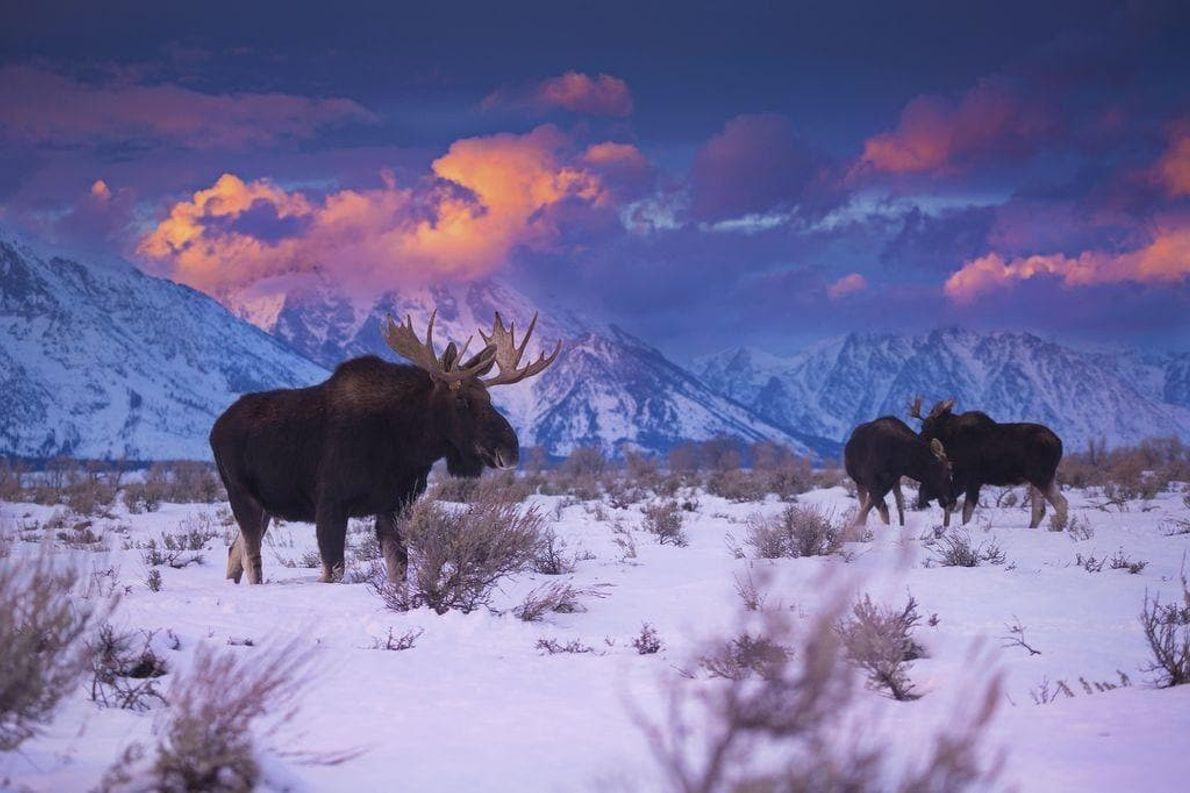 Durante el invierno, los alces, que suelen ser solitarios, se agrupan en las llanuras del parque ...