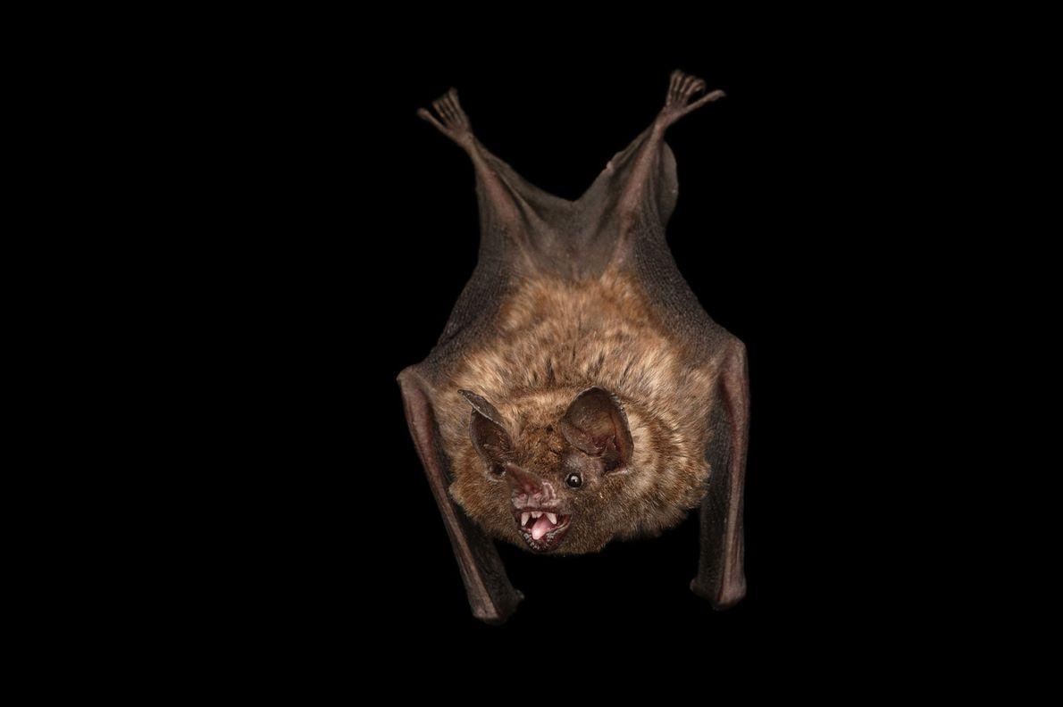"""Un murciélago frugívoro """"Carollia perspicillata"""" en el Lincoln Children's Zoo."""
