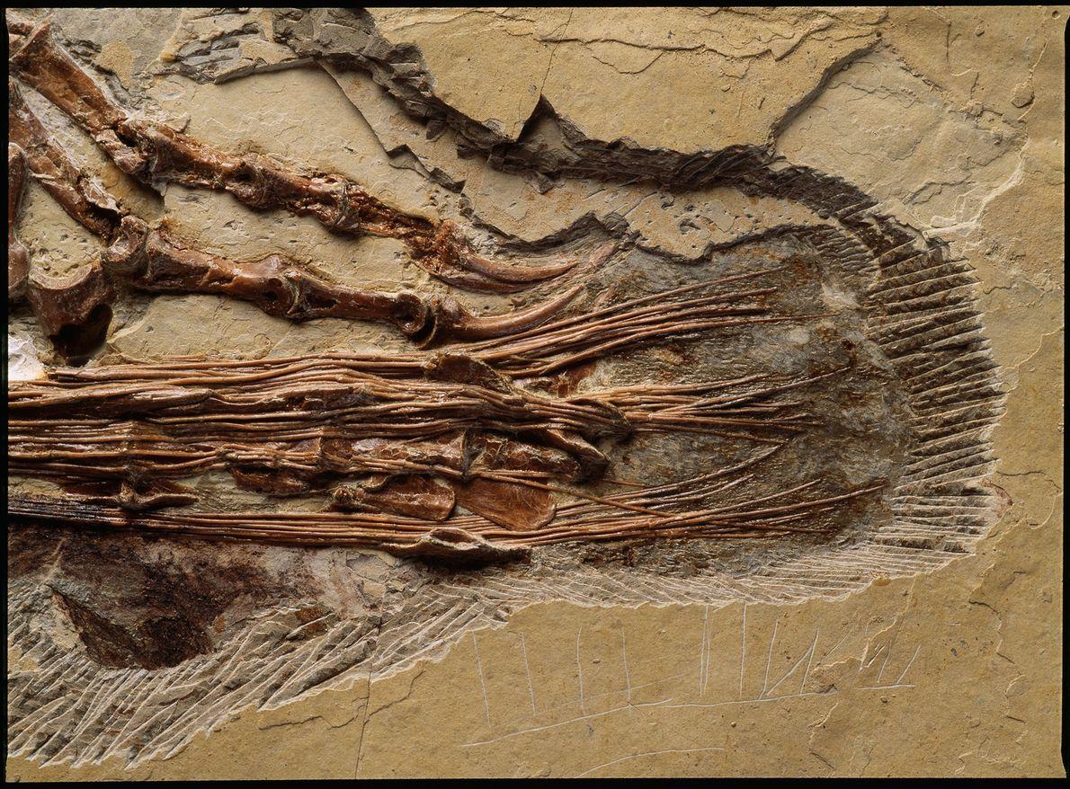 """Un primer plano de la cola del """"Sinornithosaurus millenii"""", dinosaurio del Cretácico temprano, encontrado en China. ..."""