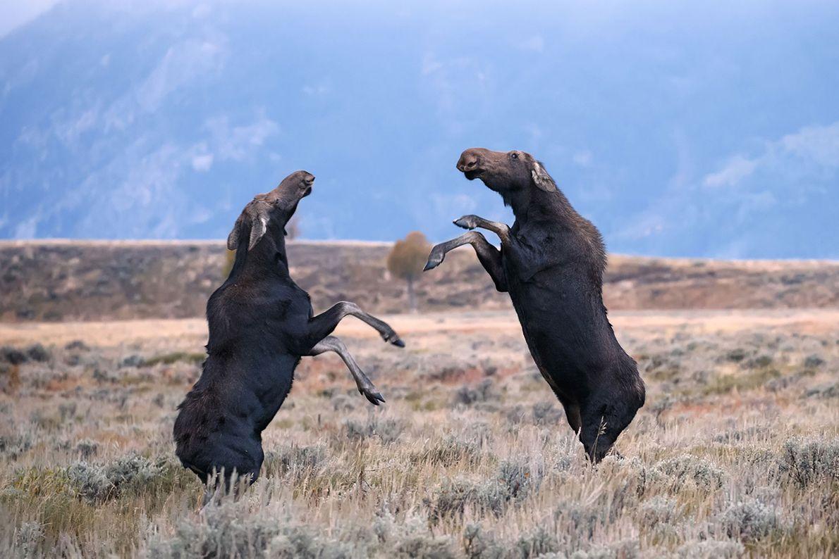 Alces americanos pelean en el parque nacional de Grand Teton, Wyoming.