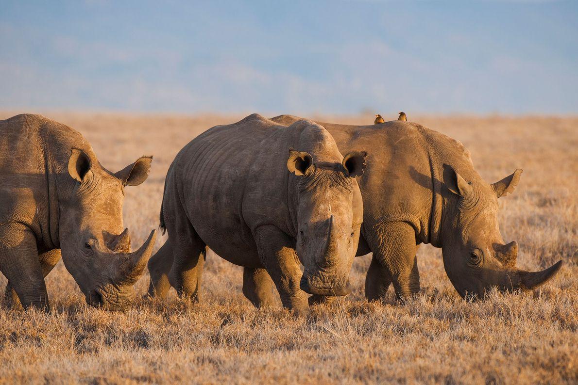 """Rinocerontes blancos (""""Diceros bicornis"""") en Lewa Wildlife Conservancy de Kenia."""