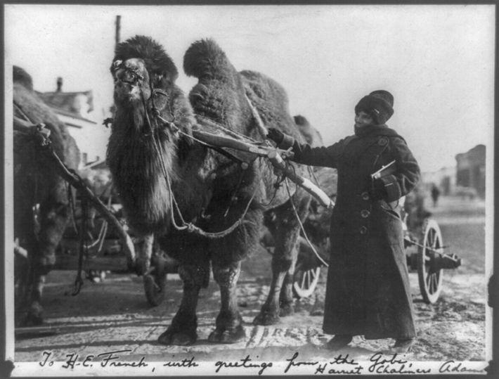 En uno de sus extensos viajes, Chalmers Adams escribió su fotografía de un camello tirando de ...