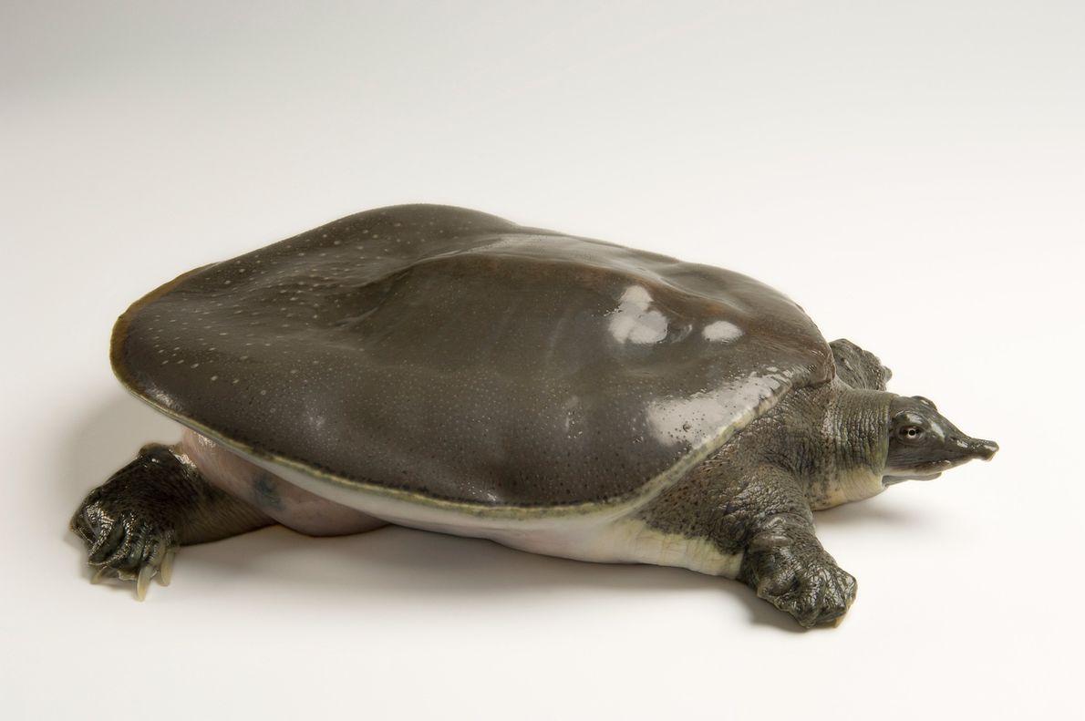 Las tortugas de caparazón blando (Apalone mutica calvata) de la costa del golfo son una subespecie ...