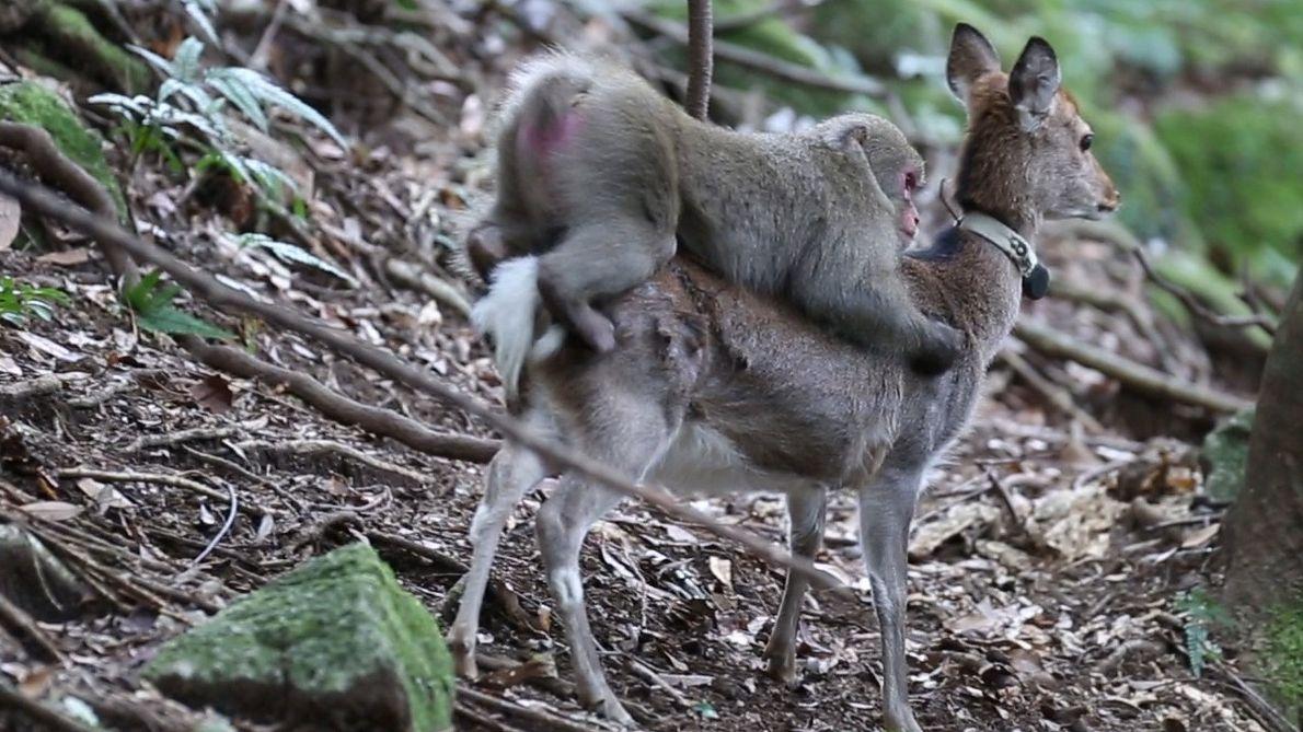 Imágenes fuertes: Macaco intenta aparearse con una cierva