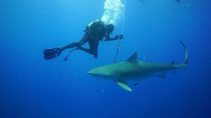 Encuentro entre un peligroso tiburón y un buzo
