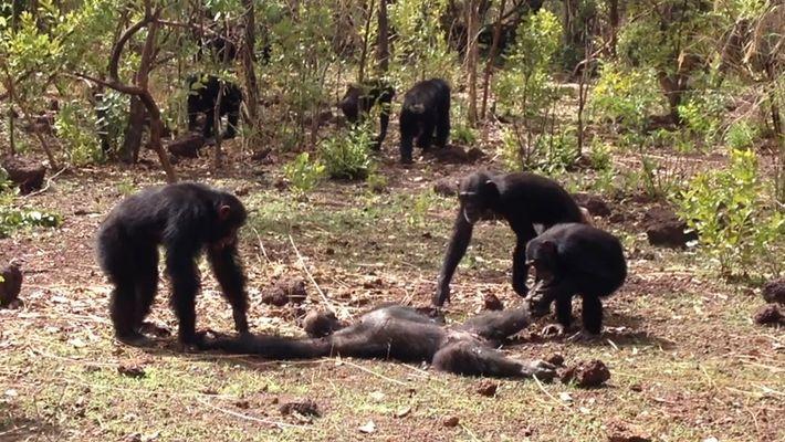 Imágenes fuertes: Raro video de la repercusión del asesinato de un chimpancé