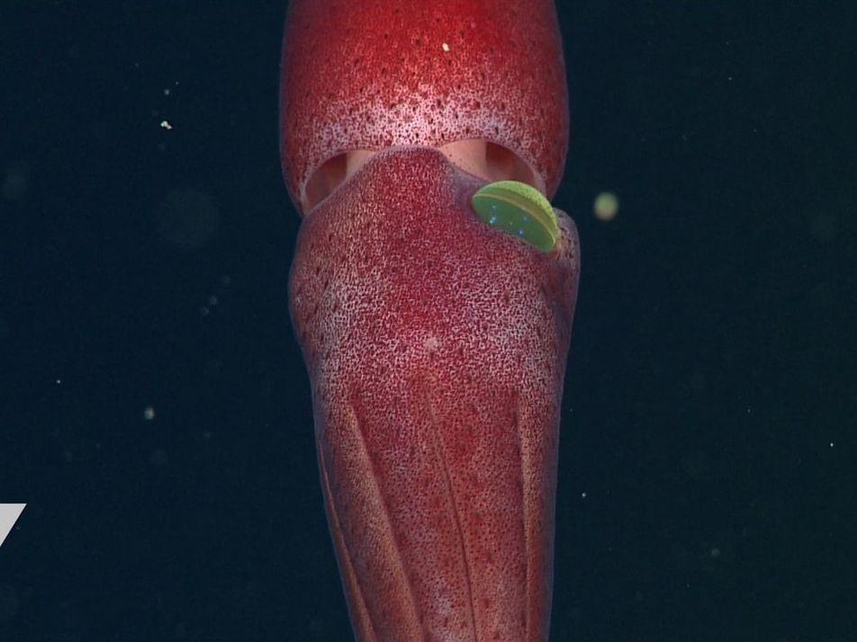 Conoce a un calamar con un ojo extraño